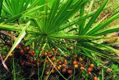 10 1 serenoa repens extract saw palmetto extract