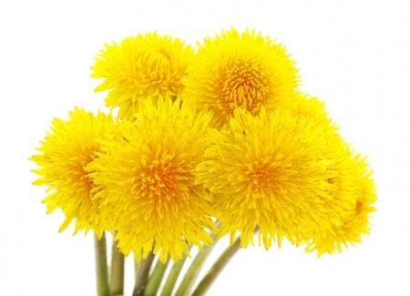 bouquet pissenlit