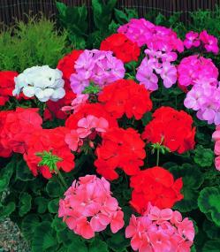 Geranium zonale pot de 3 litres