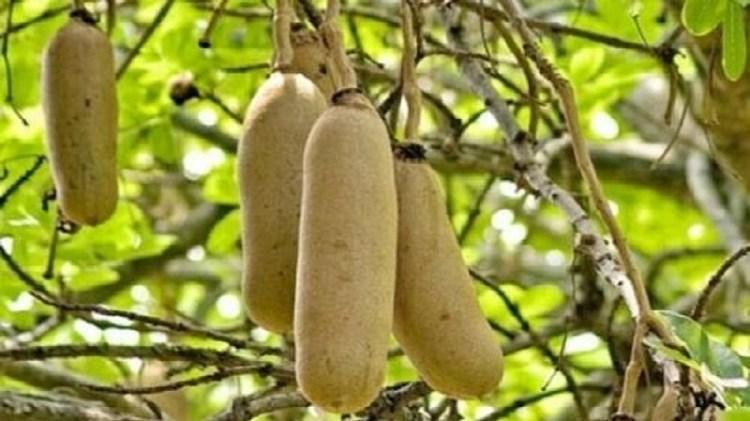 Kigelia africana et fibromes