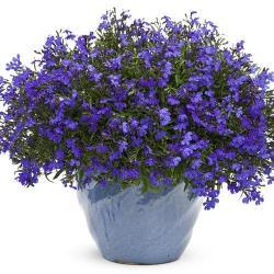 Lobelia lucia dark blue 02
