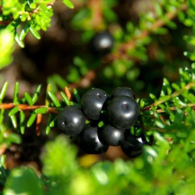 Myrtille noire